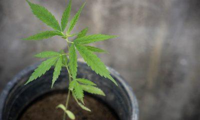 Hemp plant grows in a planter