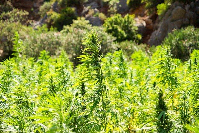 Hemp plants in a field