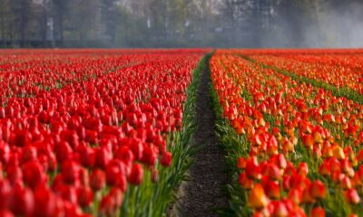 Rows of red tulips in bloom