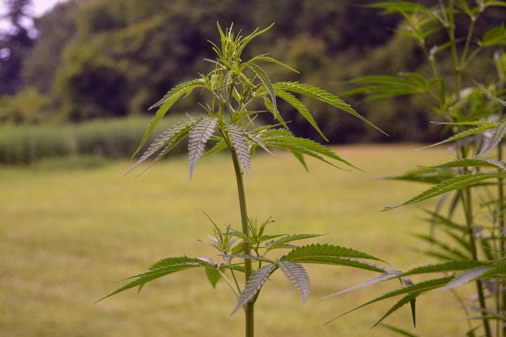 A photograph of a field with two tall hemp plants in the foreground of the shot