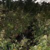 Seized cannabis crop